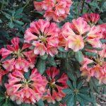 Rododendron Valencia
