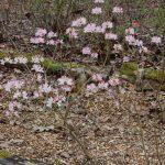 Rododendrony a zazimování
