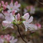 Rododendron Vaseyův