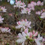 Rododendron Vaseyi