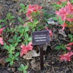 Rododendron Velká Morava