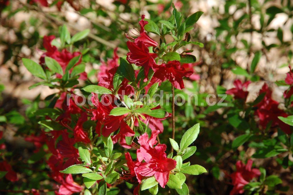 Rododendron Veltrusy