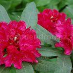 Rododendron Vilém Heckel