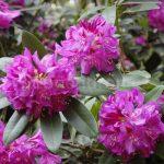 Rododendron Violett Blau