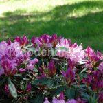 Rododendron Violetta