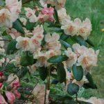 Rododendron Viscy