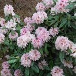 Rododendron Vivatella