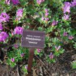 Rododendron Vizovice