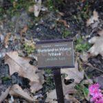 Rododendron Vltava