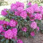 Rododendron Walhure