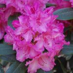 Rododendron Walhure (Walkure)