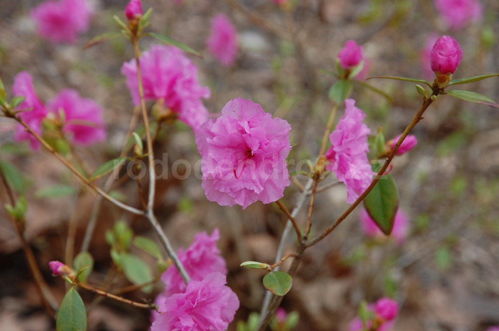 Rododendron Westons Pink Diamond