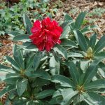 Rododendron Wilgnes Ruby