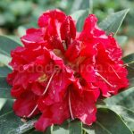 Rododendron Wilgens Ruby