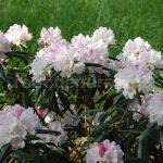 Rododendron Yaku Queen