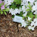 Rododendrony - hnojení