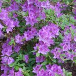 Rododendron Yedoense
