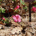 Rododendron Červená Lhota