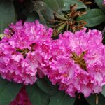 Rododendron D. Heinje