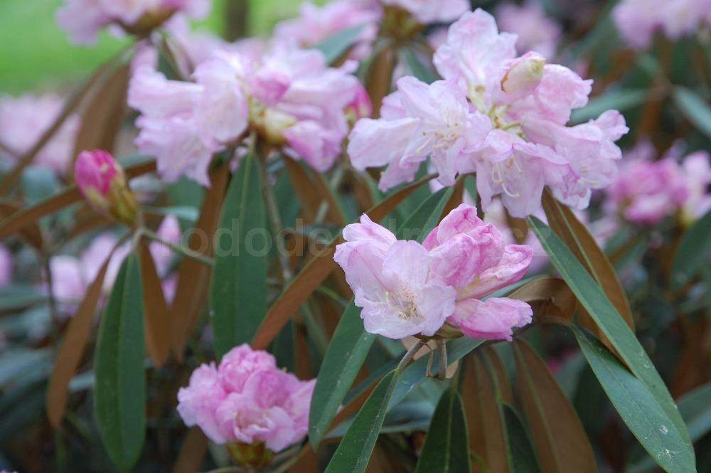 Rododendron Adenopodum