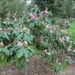 Rododendron Admiral piet hein