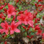 Rododendron Aladin