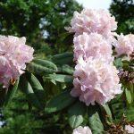 Rododendron Albert Schweitzer
