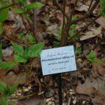Rododendron Albrechtii