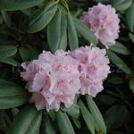 Rododendron Album Grandiflorum