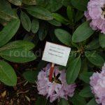 Rododendron Album Novum