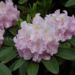 Rododendrony - šlechtění