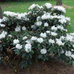 Rododendron Alena