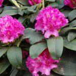 Rododendron Alexander Steffen