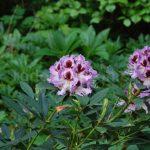 Rododendron Alexis