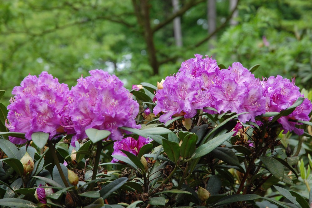Rododendron Alfred