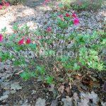 Rododendron Alotria