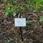 Rododendron Ambiguum