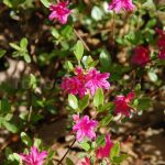 Rododendron Amoena