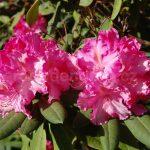 Rododendron Anastacia