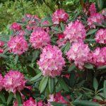 Rododendron Anilin