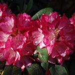 Rododendron Ann Lindsay