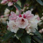 Rododendron Ann Soli