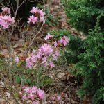 Rododendron Anna Baldsiefen
