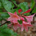 Rododendron Antilope