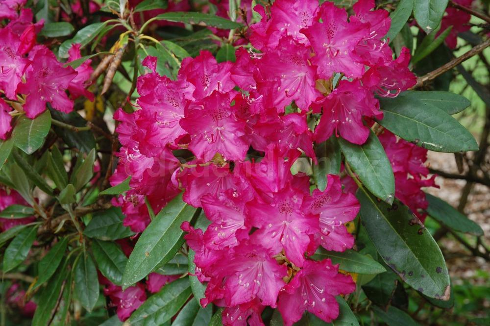 Rododendron Antonín Dvořák
