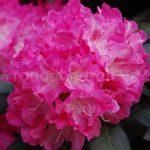 Rododendron Anushka