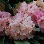 Rododendron Arabella