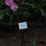 Rododendron Argyrophyllum