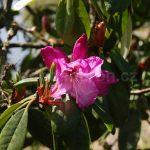 Rododendron Arnost Silva Tarouca