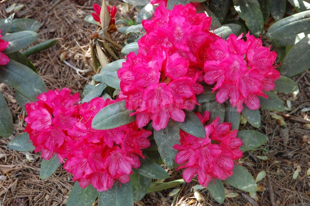 Rododendron Astrid